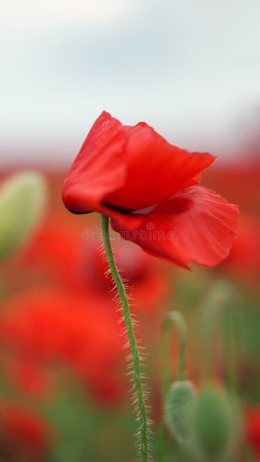 红色开花鸦片 库存图片