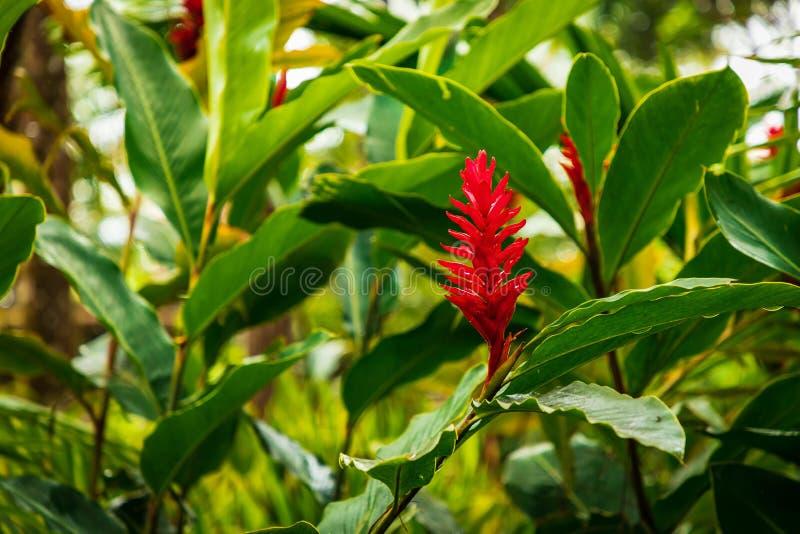 红色开花,姜,热带,加勒比,多米尼加共和国 免版税库存图片