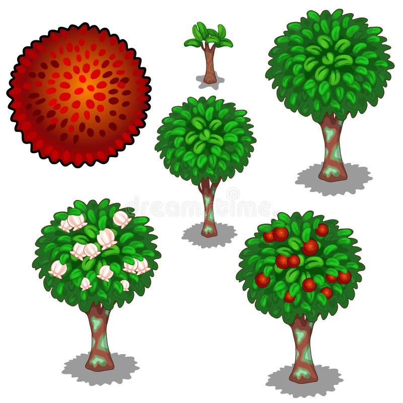 红色异乎寻常的红毛丹的种植和耕种 向量例证