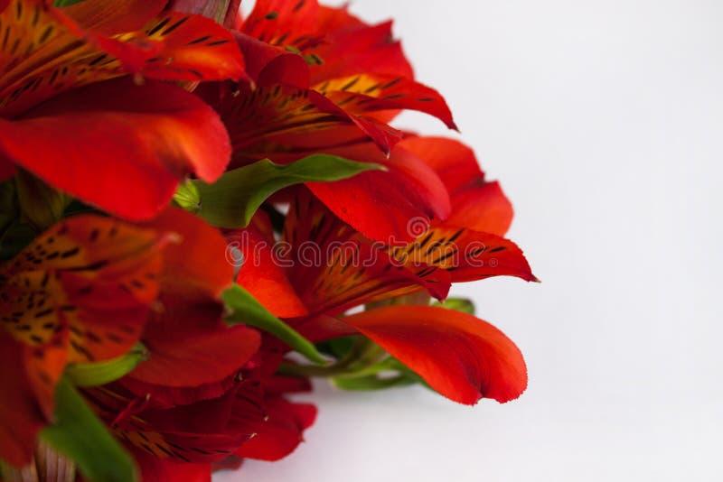 红色德国锥脚形酒杯,秘鲁百合或秘鲁百合花束花 被隔绝的白色背景,拷贝空间 库存图片