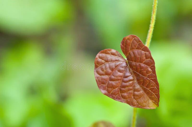 红色心脏叶子 库存照片