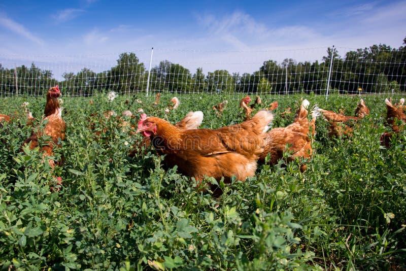 红色性链接鸡 库存图片