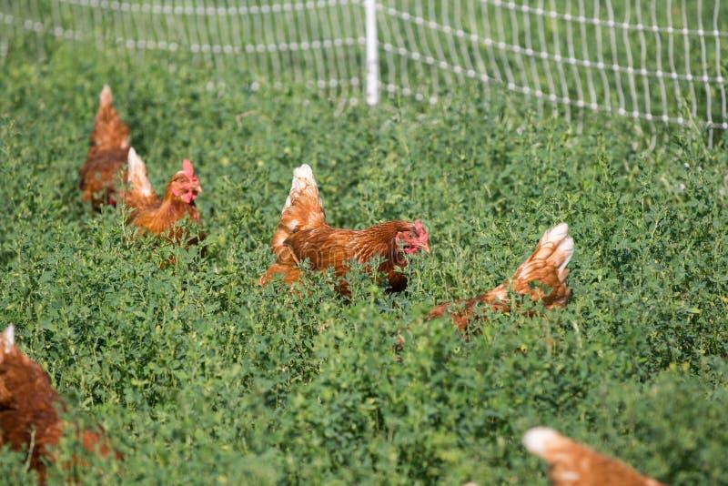 红色性链接鸡 免版税图库摄影