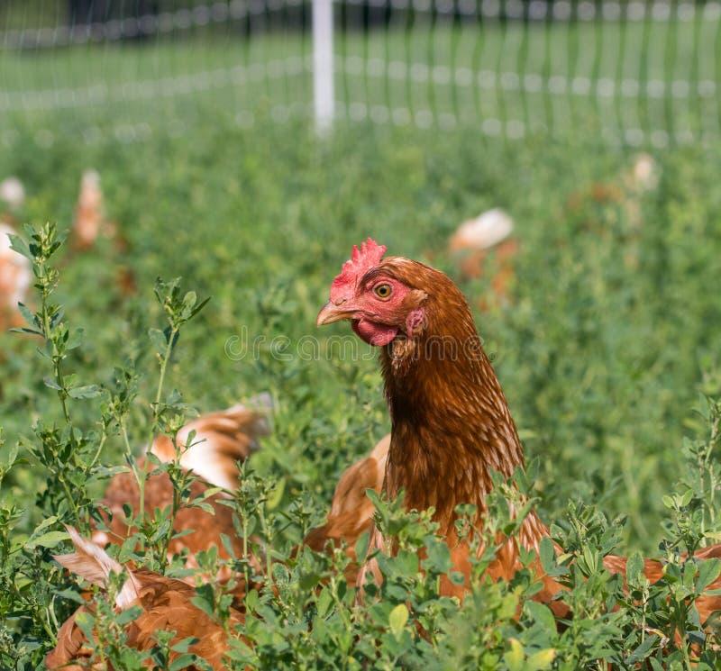 红色性链接鸡 库存照片