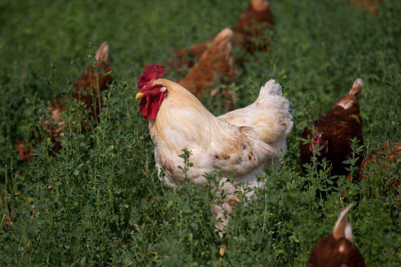红色性链接鸡 图库摄影