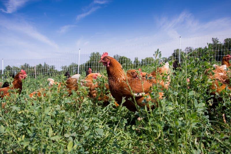 红色性链接鸡 免版税库存图片