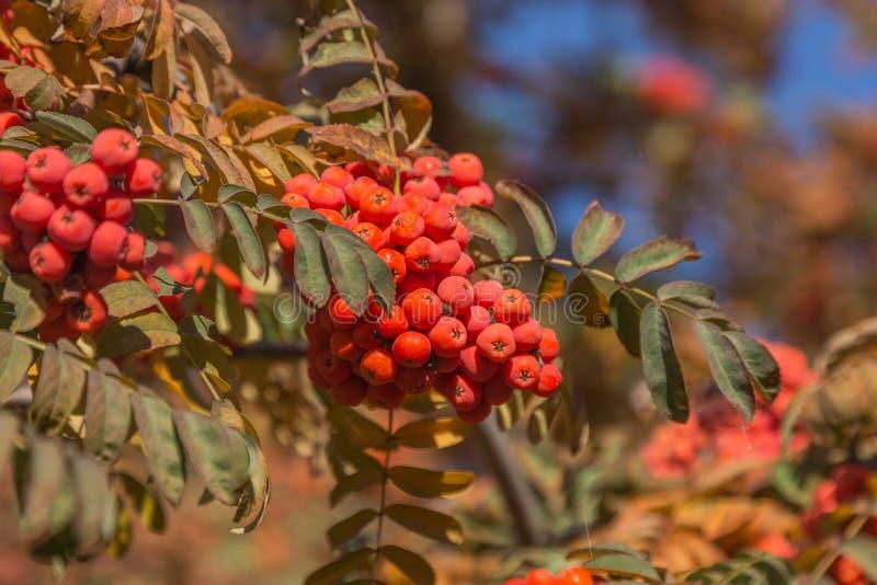 红色成熟束花揪用绿色花揪在秋天离开 autum 库存图片