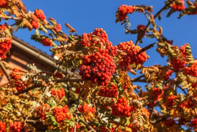 红色成熟束花揪用绿色花揪在秋天离开 autum 免版税库存图片