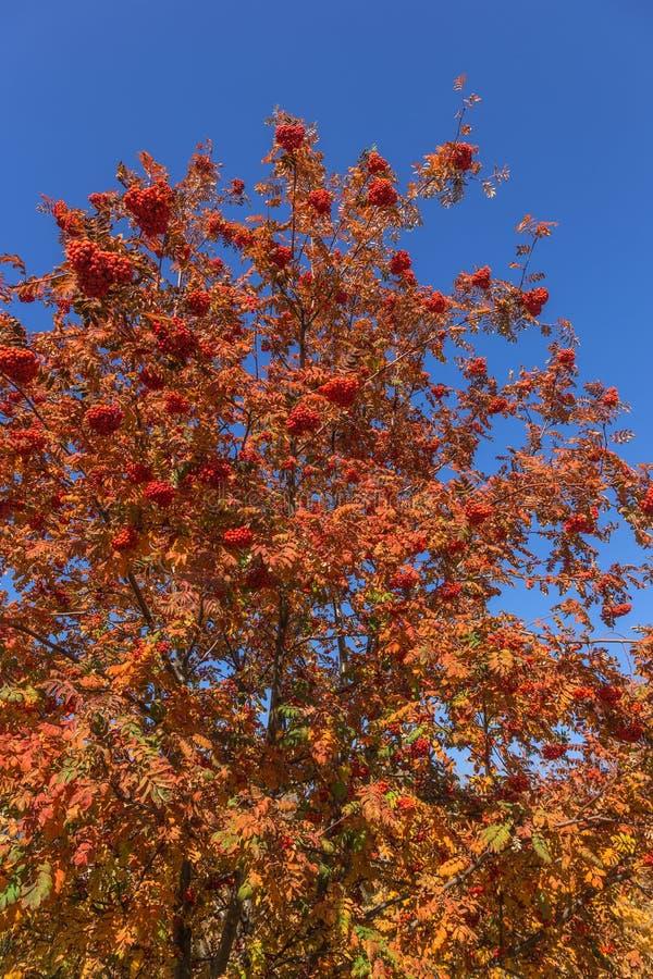 红色成熟束花揪用绿色花揪在秋天离开 autum 库存照片