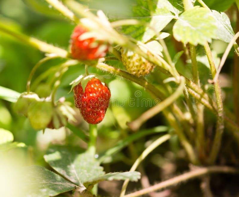 红色成熟草莓在庭院里 免版税图库摄影