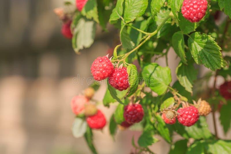红色成熟莓 免版税库存图片
