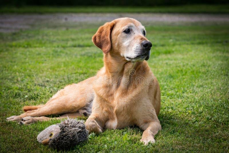 红色拉布拉多寻回犬躺在草地上 免版税库存图片