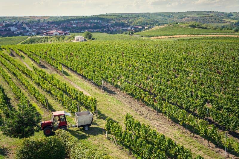 红色拖拉机准备好收获葡萄在葡萄园,晴朗的秋天天,摩拉维亚南部,捷克里 图库摄影