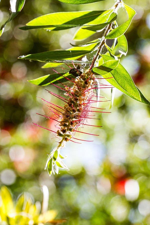 红色接近钉果子异乎寻常的植物仍然 免版税库存图片