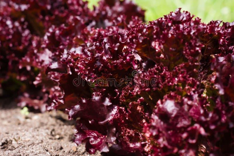 红色散叶莴苣灌木行在夏天庭院里 库存图片