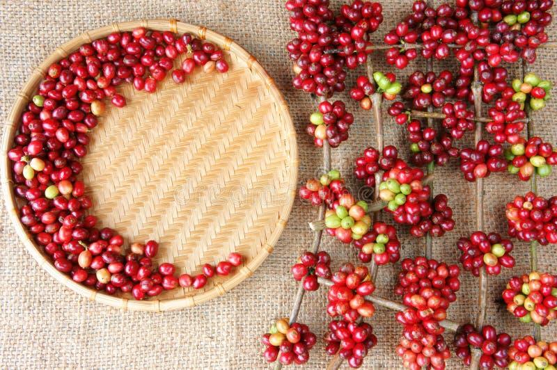 红色新鲜的咖啡豆 免版税图库摄影