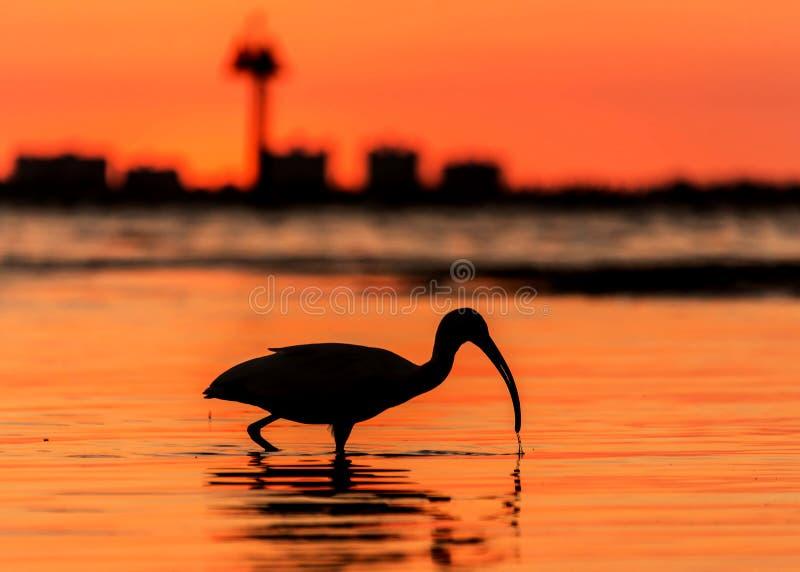 红色日落鸟剪影海滩 免版税库存图片