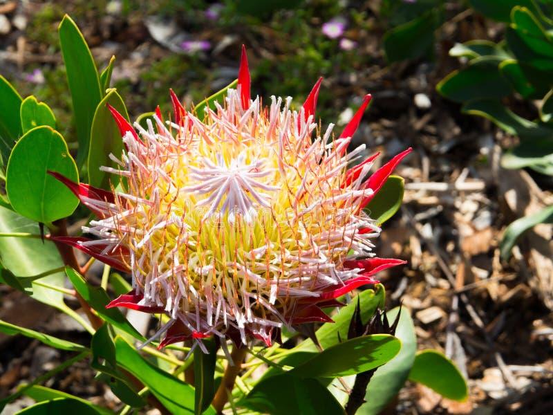 红色普罗梯亚木cynaroides在一个春季的一点'Sugarbush'王子花在澳大利亚植物园 免版税库存图片