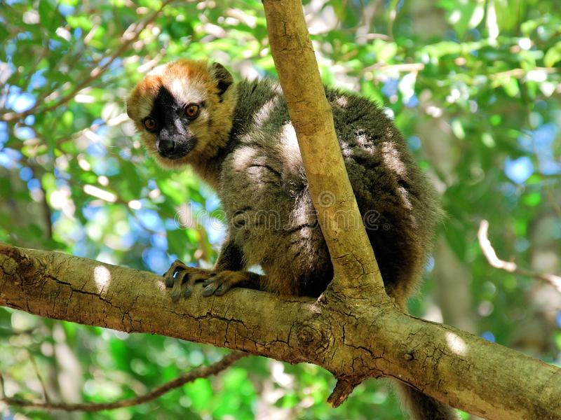 红色朝向的棕色狐猴,伊萨卢国家公园,马达加斯加 库存图片