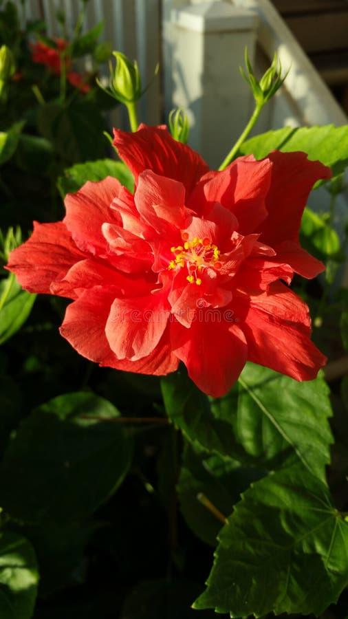 红色木槿在夏威夷 库存照片