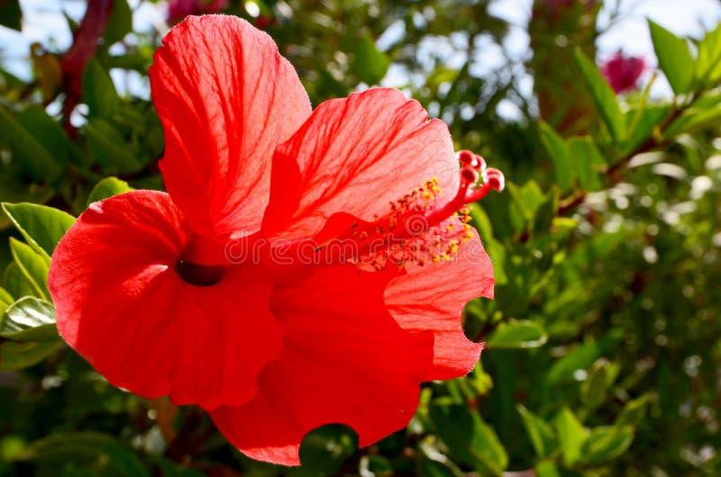 红色木槿在特内里费岛开花,加那利群岛,西班牙一个热带庭院里  图库摄影
