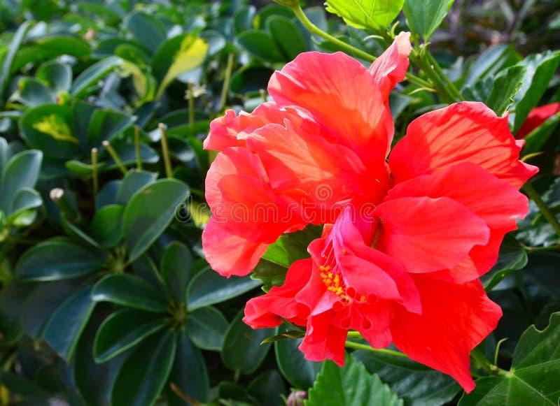 红色木槿在特内里费岛开花,加那利群岛,西班牙一个热带庭院里  免版税库存照片