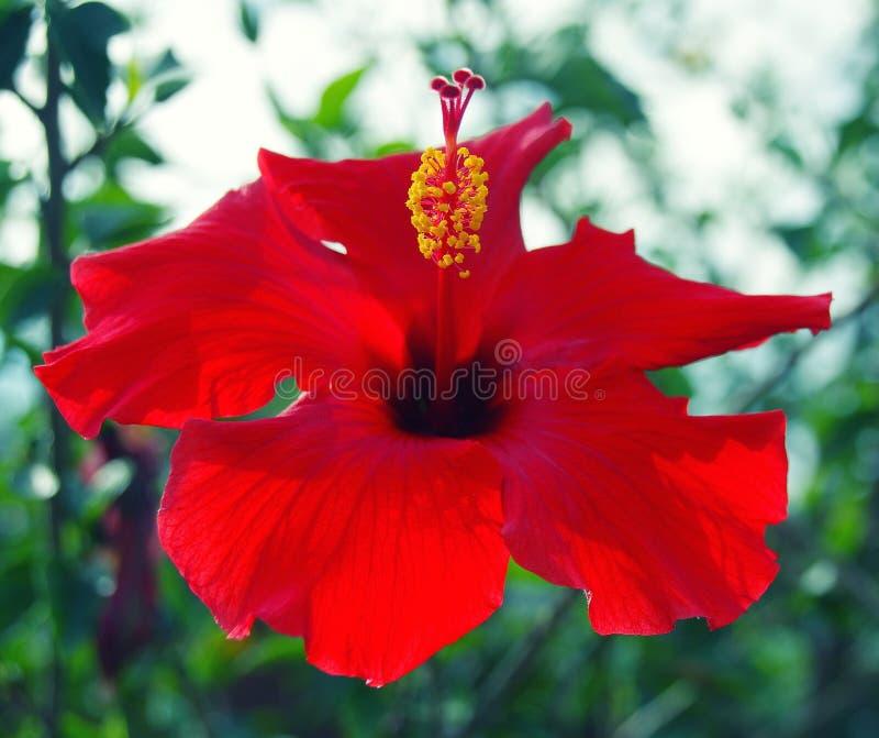 红色木槿特写镜头开花有黄色雄芯花蕊和深红耻辱的开花 库存照片