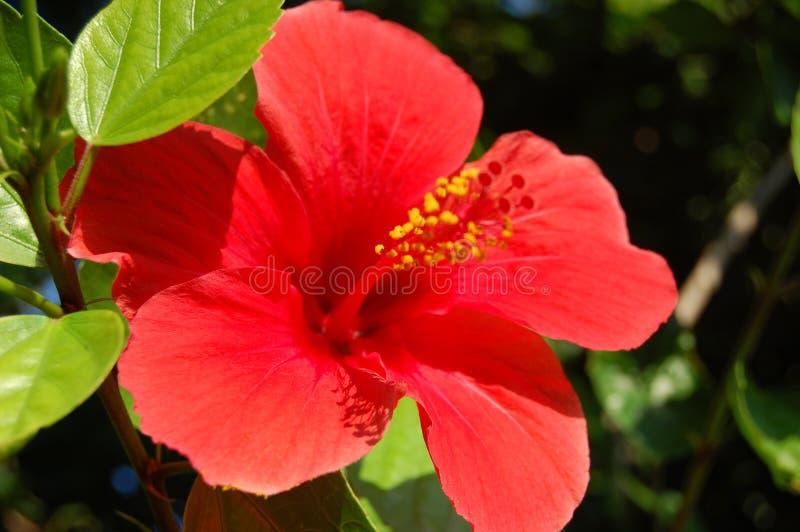 红色木槿花 夏威夷国家标志 夏天植物开花 免版税库存图片