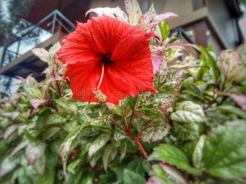 红色木槿花 库存照片