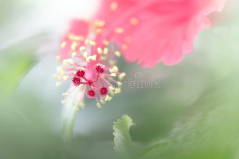 红色木槿花 免版税库存图片