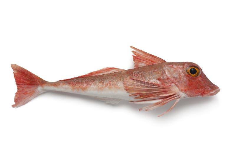 红色木盆鲂鱼 免版税图库摄影