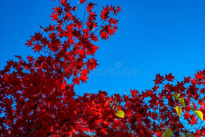 红色枫树在秋天离开反对一清楚的天空蔚蓝 免版税库存照片
