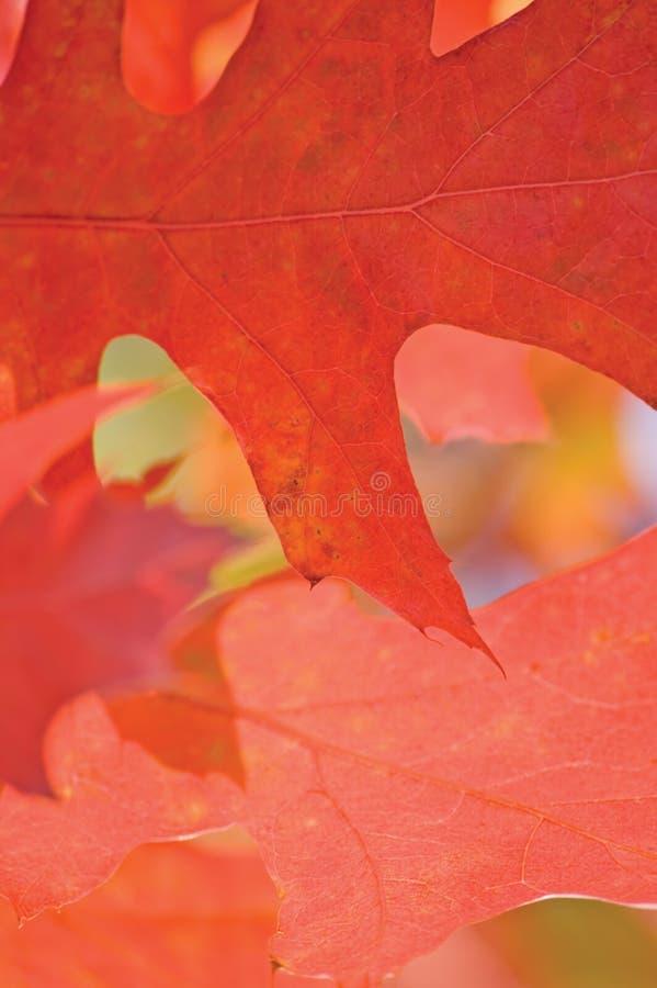 红色栎属Rubra橡木叶子,叶子背景在秋天,垂直的宏观特写镜头 免版税库存照片