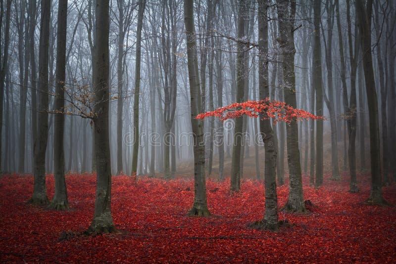 红色树在一个有雾的秋天森林里 免版税库存图片