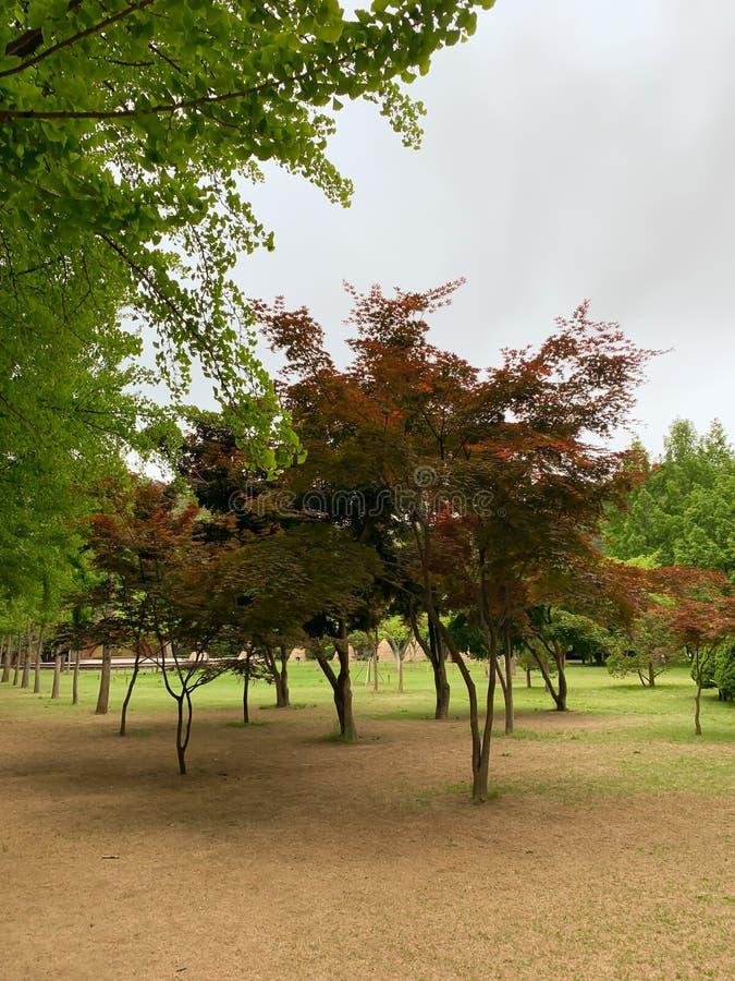 红色树在公园 库存图片