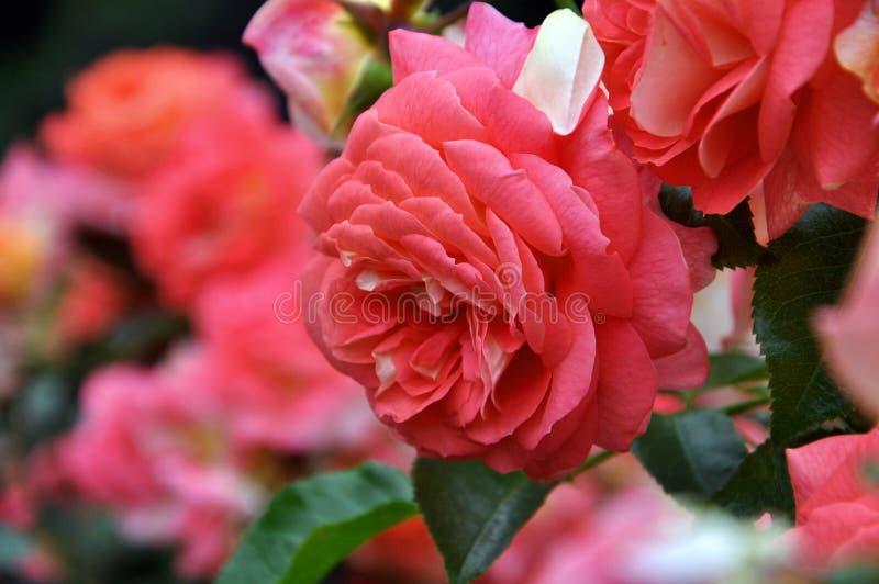 红色桃红色玫瑰水平的选择聚焦 柔软,激情,爱夫妇,终身联系,华伦泰` s天 图库摄影