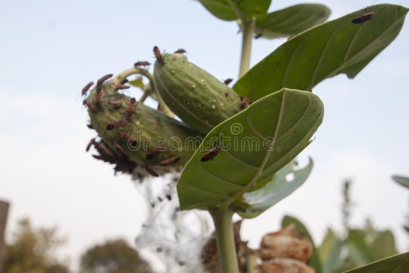 红色棉花臭虫或棉椿象臭虫在庭院里吃着叶子和冠花 免版税库存图片