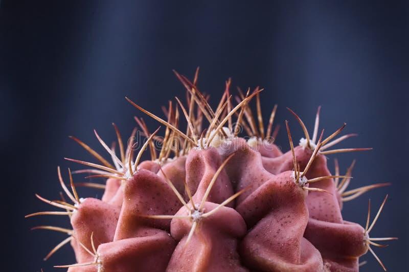 红色棘手的皮肤喜欢仙人掌植物反对黑暗的背景 免版税库存照片