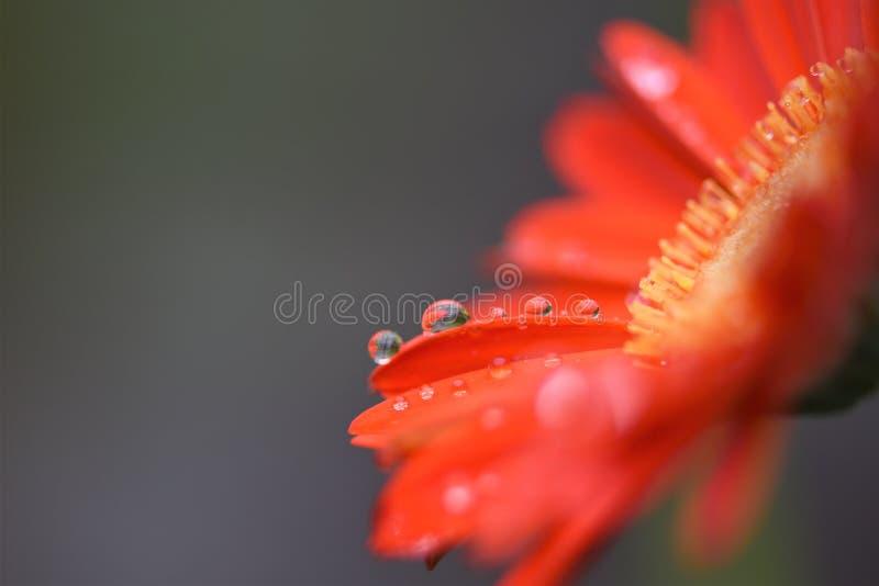 红色橙色大丁草花的宏观摄影图象与被采取的清楚的雨下落的在我的南海岸的英国英国庭院 库存照片