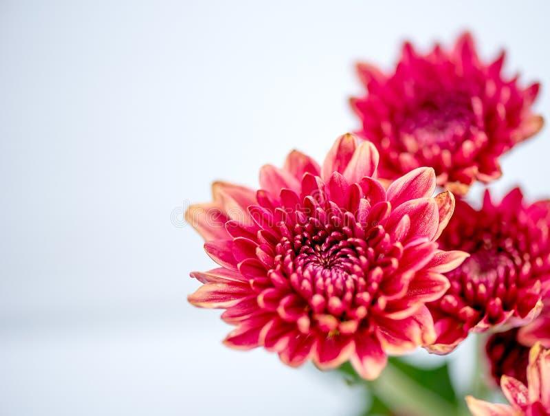 红色橙色菊花花的一种类型在白色和灰色背景的 免版税库存照片