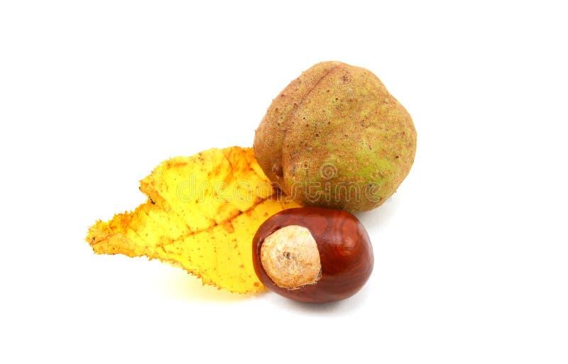 从红色欧洲七叶树的黄色秋天叶子与七叶树果实 库存照片