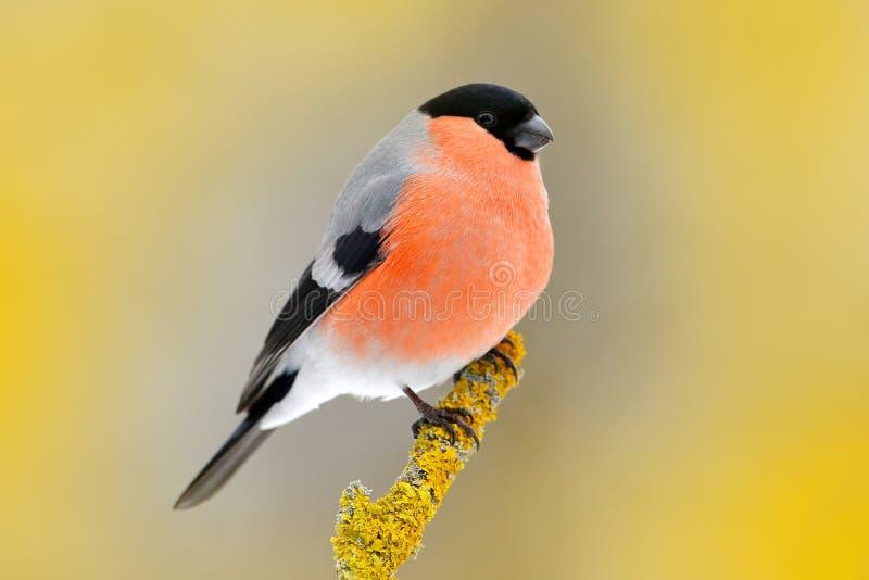 红色歌手红腹灰雀坐黄色地衣分支, Sumava,捷克共和国 从自然的野生生物场面 红腹灰雀在森林, y里 免版税库存照片