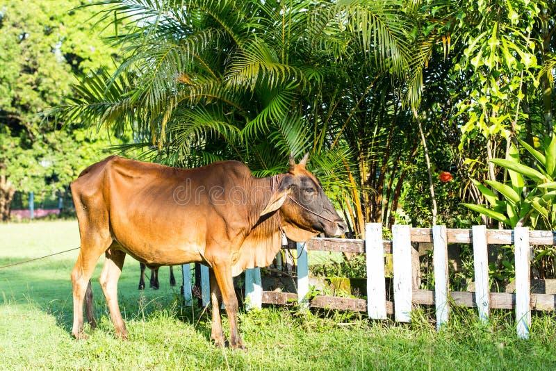 Download 红色母牛 库存图片. 图片 包括有 母牛, 本质, 小牛, 农场, 夏天, 国家(地区), 绿色, 归档 - 62526763