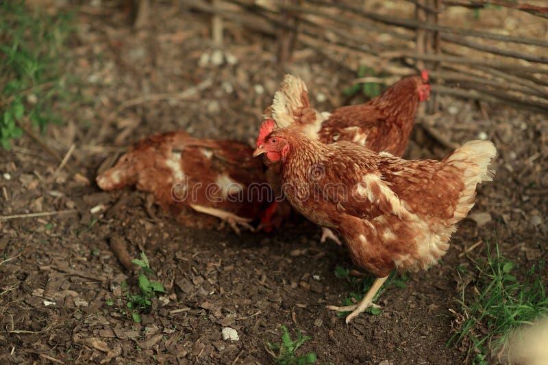 红色母鸡 库存图片