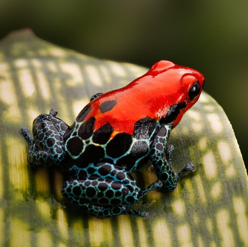 红色毒物箭青蛙秘鲁雨林 免版税库存图片
