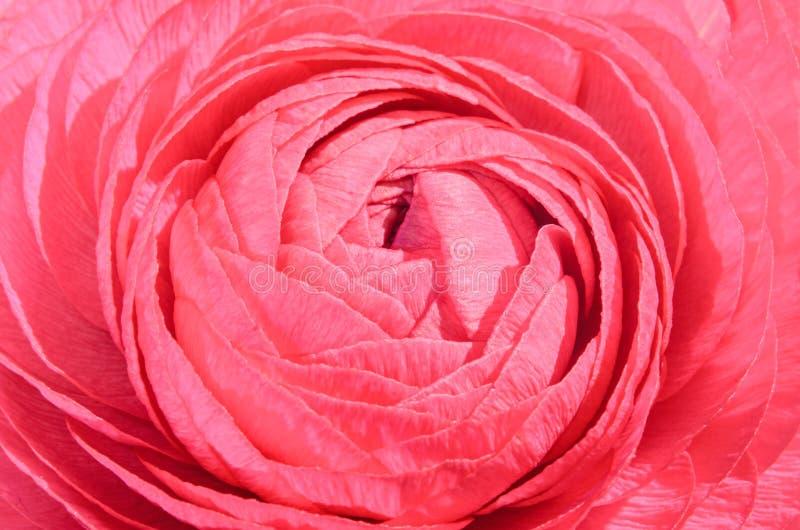 红色毛茛属花,毛莨科家庭 类包括毛茛、spearworts和水毛莨 免版税库存图片