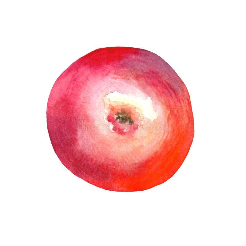 红色水彩的苹果 底视图 免版税库存照片