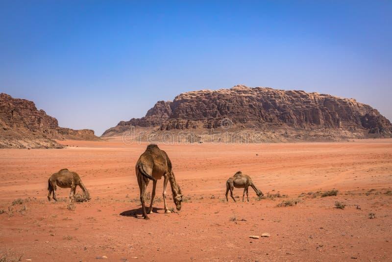 红色沙子沙漠和骆驼晴朗的夏日在瓦地伦,约旦 中东联合国科教文组织世界遗产名录选址和叫作 库存图片