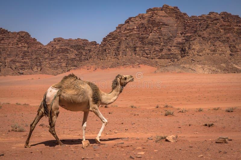 红色沙子沙漠和骆驼晴朗的夏日在瓦地伦,约旦 中东联合国科教文组织世界遗产名录选址和叫作 库存照片