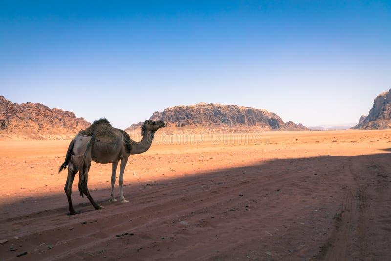 红色沙子沙漠和骆驼晴朗的夏日在瓦地伦,约旦 中东联合国科教文组织世界遗产名录选址和叫作 免版税库存照片